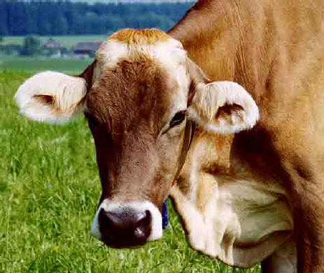 Kühe Ohne Hörner